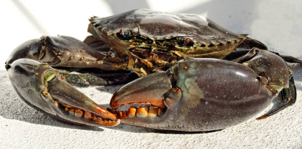 Australian Giant Mud Crab (Scylla serrata). Freshly caught, alive, and up close. Also known as Mangrove and Serrated Crab. Queensland, Australia.